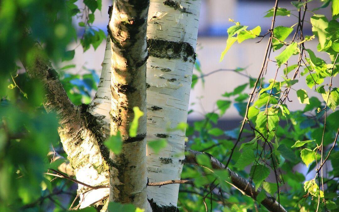 Liść brzozy (Betulae Folium)