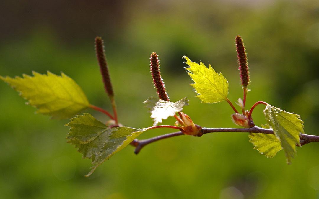 lisc brzozy greenport
