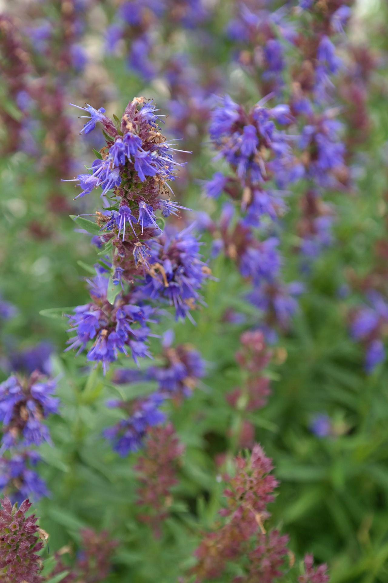 Hyzop lekarski – święta, biblijna roślina